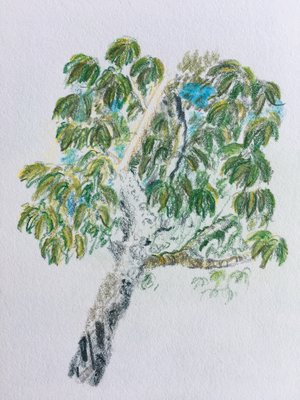 part of a chestnut oak, North Carolina, June 2017, watercolour pencils