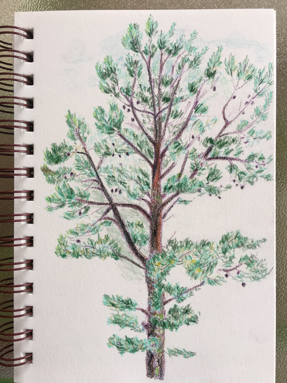 Portrait of a pitch pine, watercolour pencils, North Carolina, June 2017