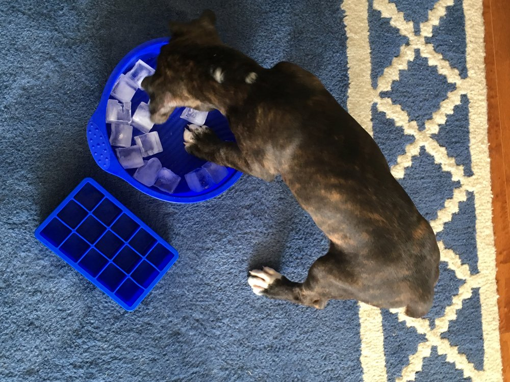 Betsy playing with ice cubes (which we later chased as if they were balls). Betsy is precisely 9 weeks old in this picture.She was born in December 2017.
