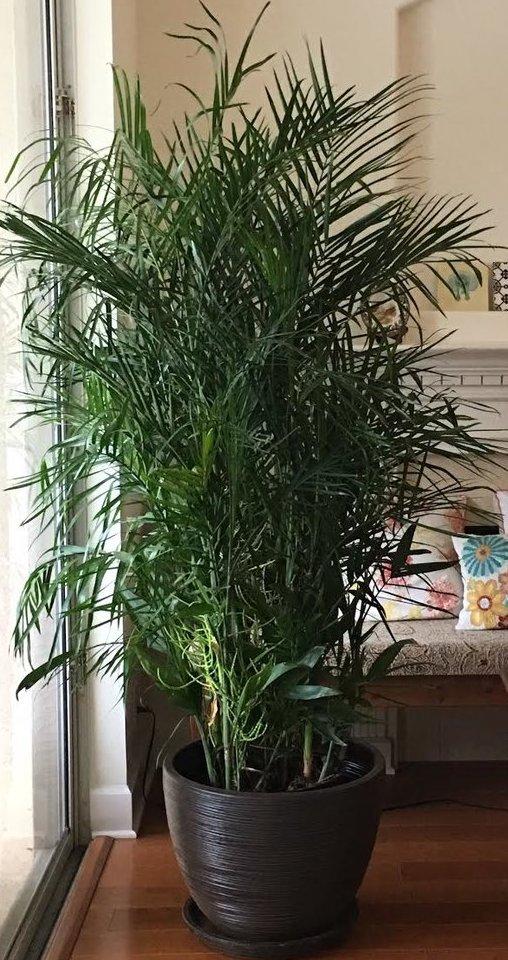 bamboo palm.jpg