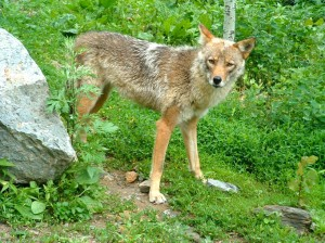 Eastern coyote photo Ontario Ministry of Natural Resources