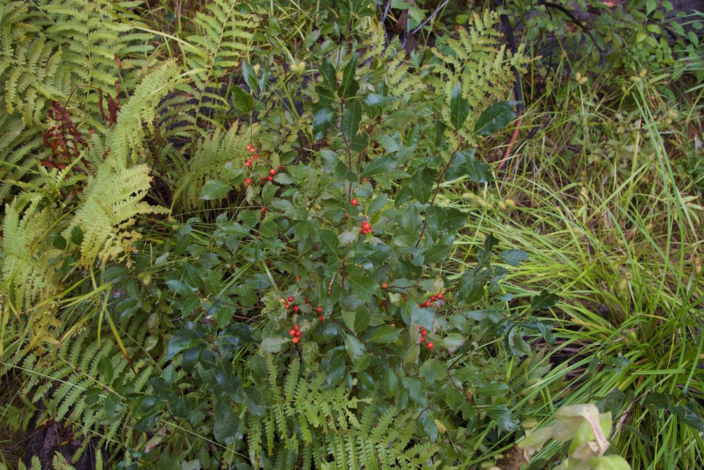 Smooth Winterberry, Ilex laevigata
