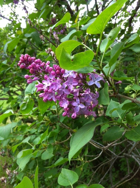 Lilacs planted long ago