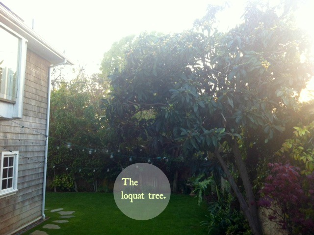 the-loquat-tree.jpg