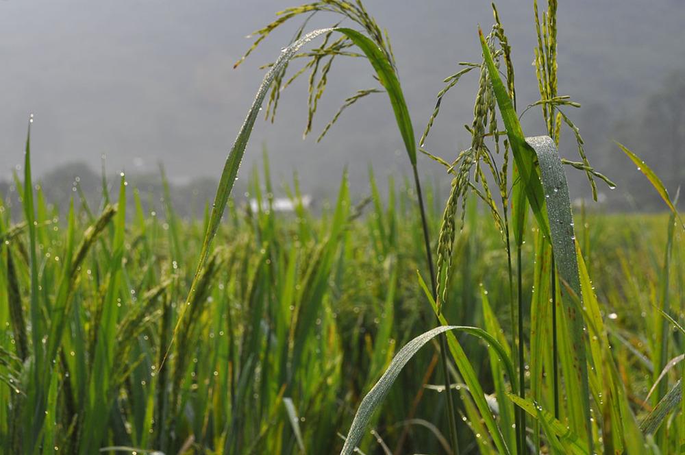 rice reduced.jpg