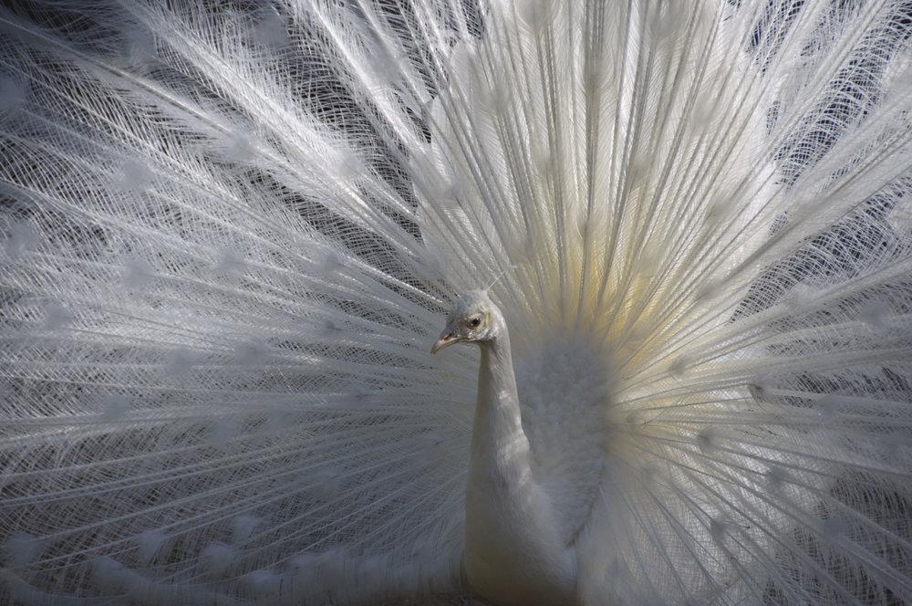 040517white peacock 1.JPG