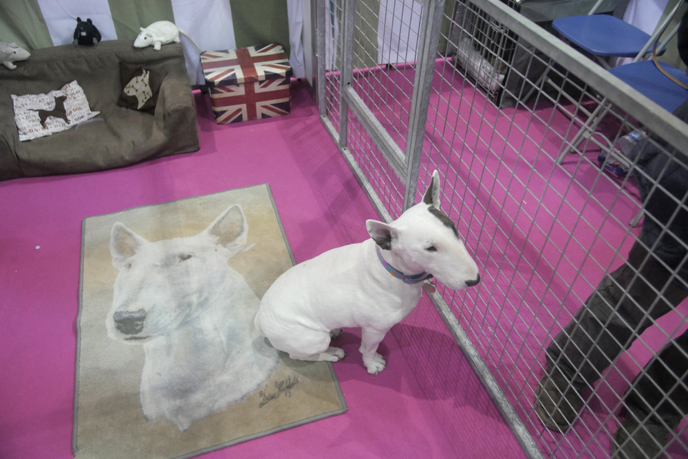 Miniature bull terrier & carpet