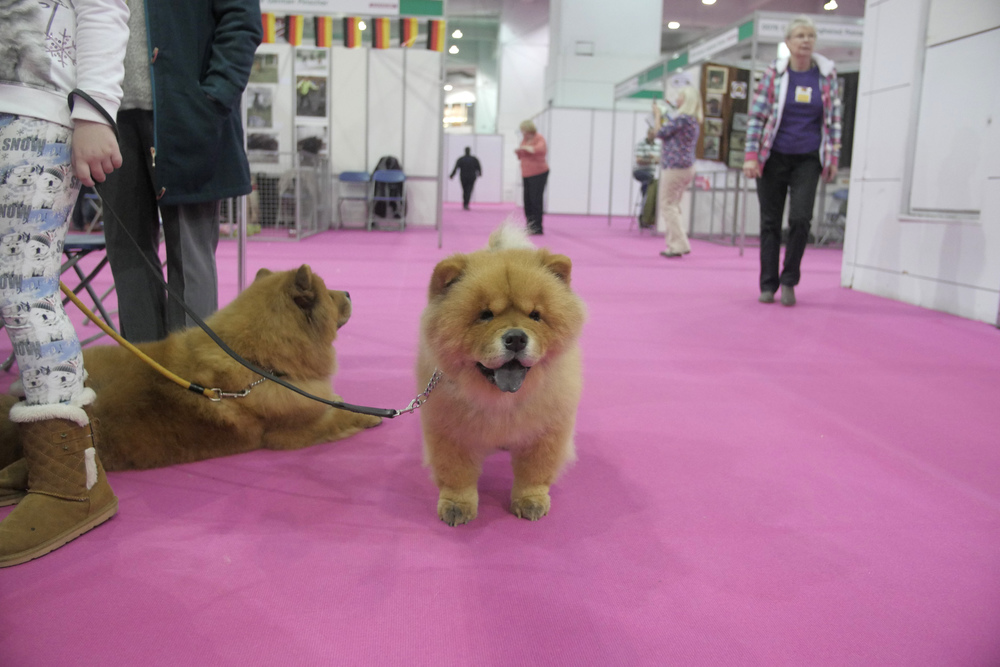 Chow chow show