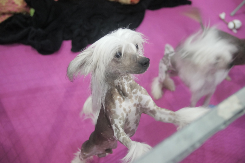 A hyper chinese crested