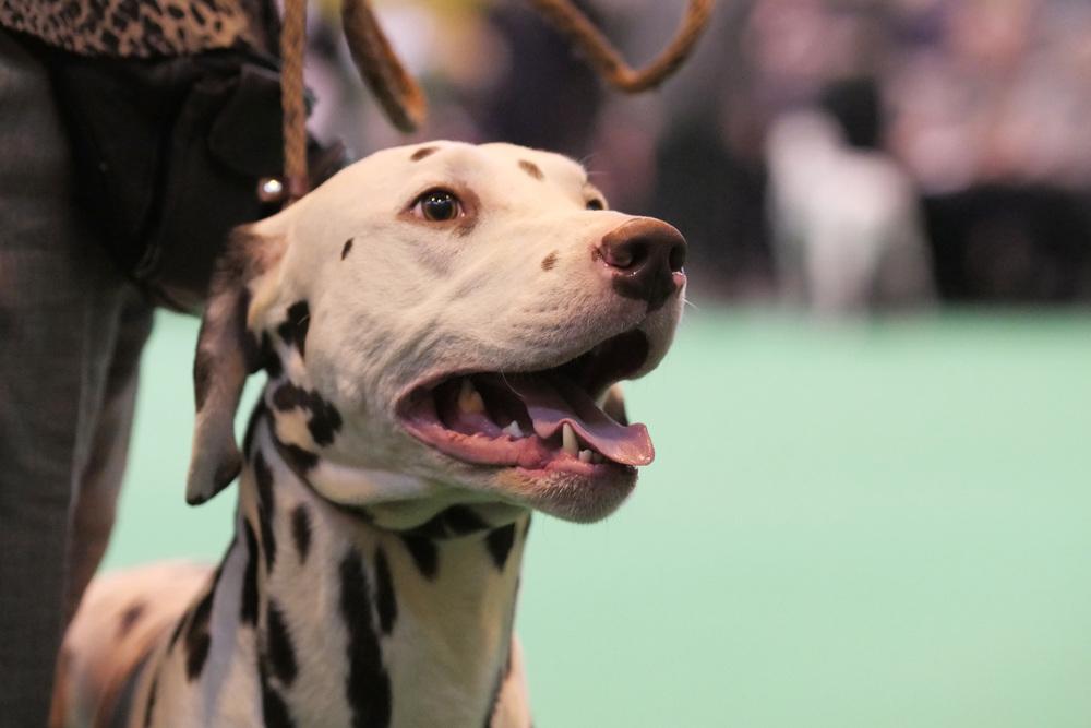 A dalmatian enjoying himselfin the show ring