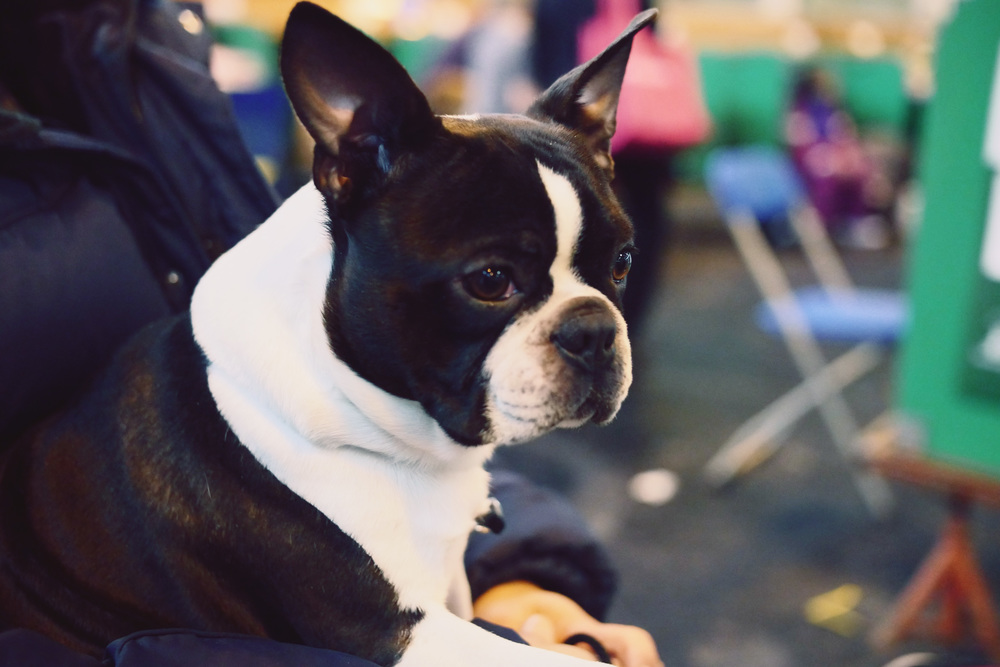Won't hurt closing this dog group with a classy Boston terrier.