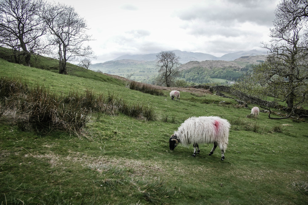sheep-ambleside-hiking-mountain-wansfell