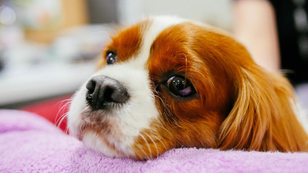 cavalier king charles spaniel portrait dog photography