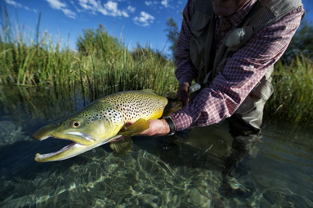 A Silver Creek Brown Trout