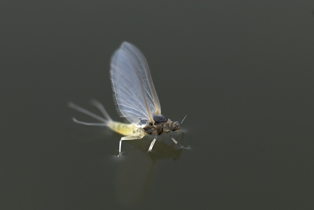 Fly fishing hatches nick price photography for Hatch fly fishing