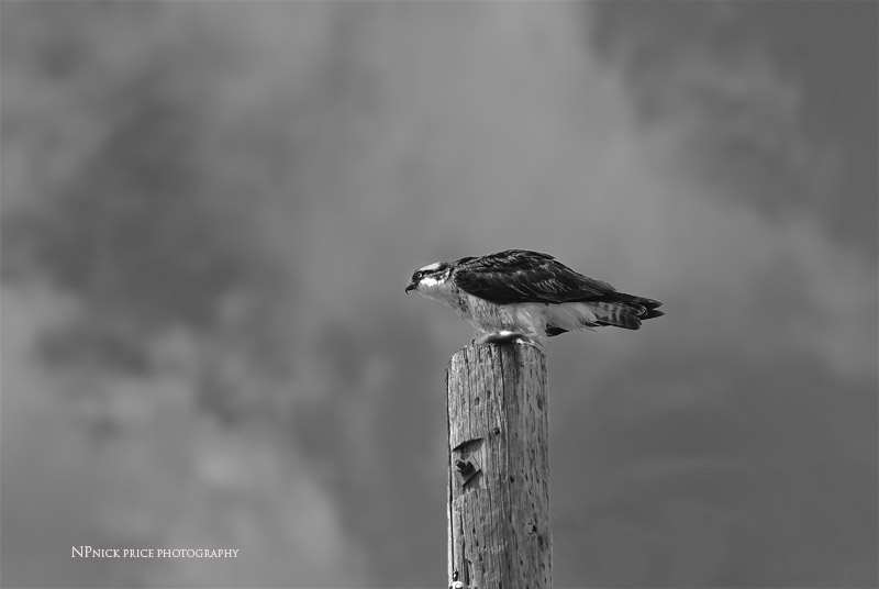 osprey black & white