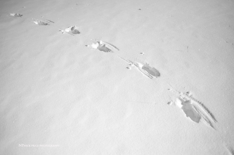yellowstone wolf tracks