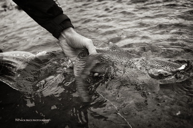 rainbow trout black & white