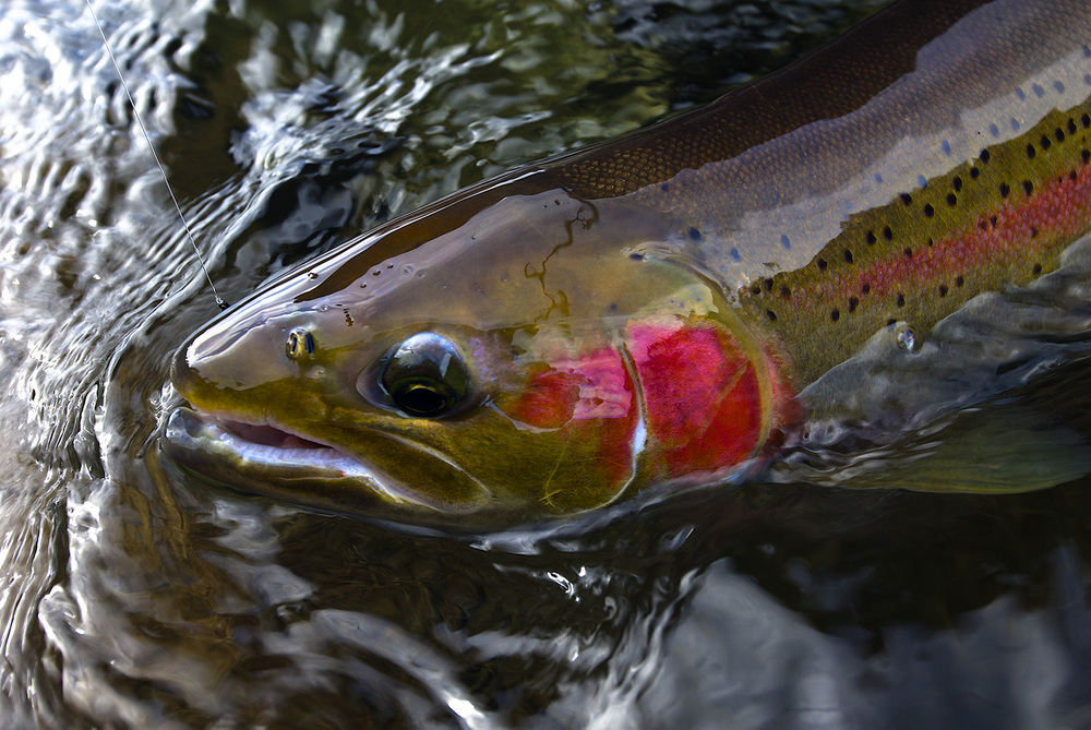 Idaho Steelhead