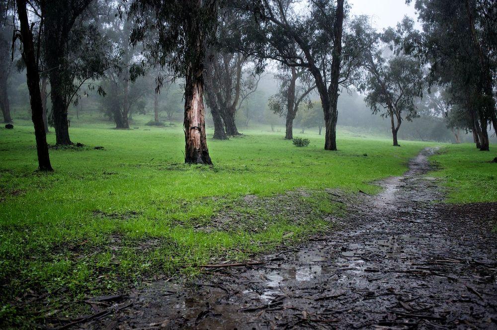 Eucalyptus & Fog. Santa Barbara, California