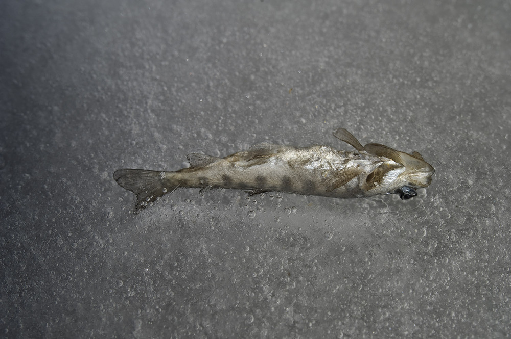 Dead Trout. Richfield Canal