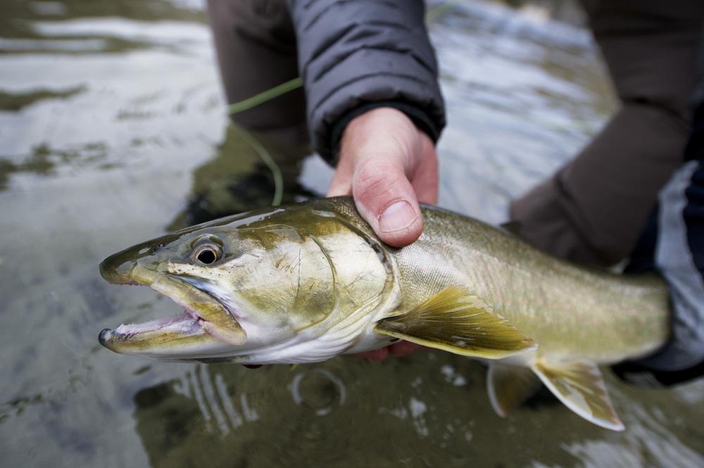 Bull Trout (salvelinus confluentus confluentus). Salmon River, Idaho