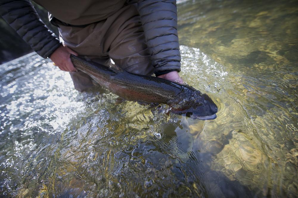 A Salmon River, Idaho steelhead is released.