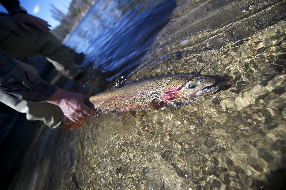 A Salmon River, Idaho steelhead gets released.