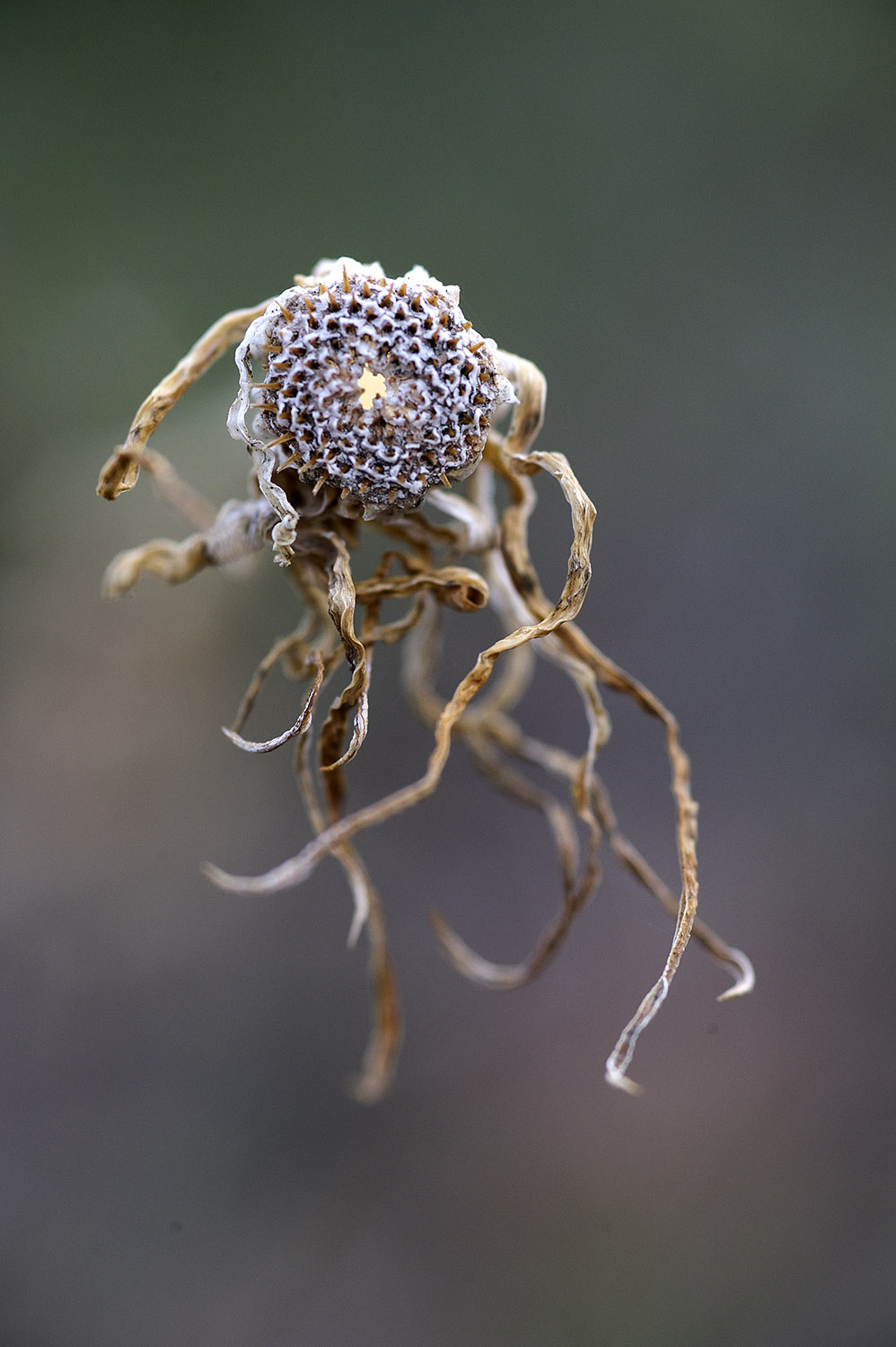 Dried Wildflower III