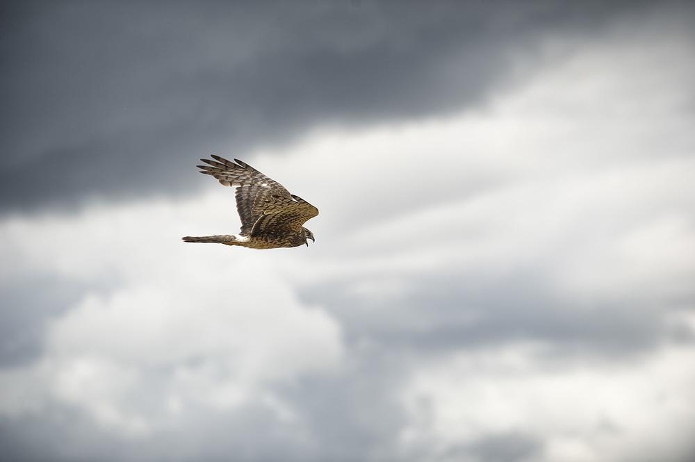 Northern Harrier making a little sound.