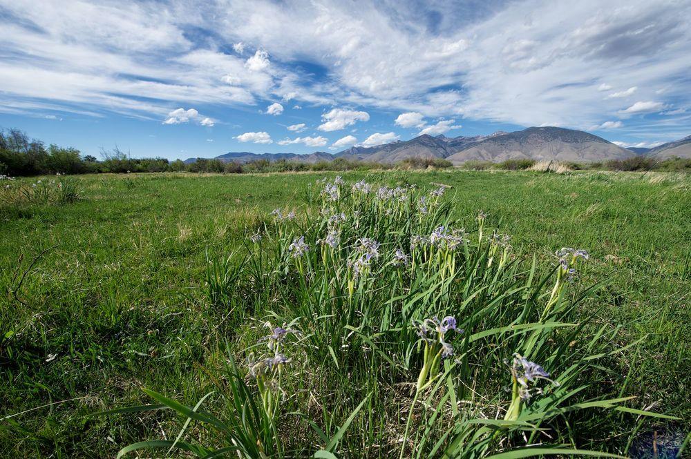 A meadow & wild iris.