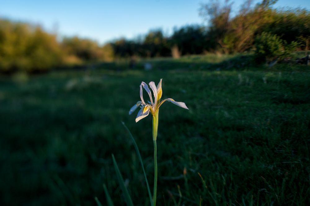 Wild Iris & Meadow.