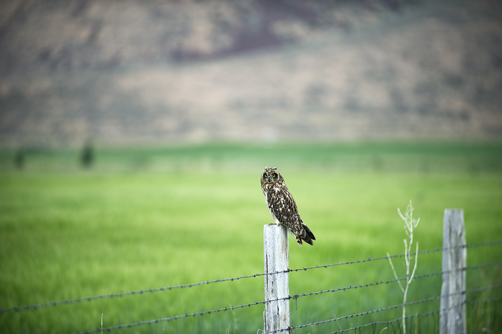 Short-Eared Owl. Picabo, Idaho