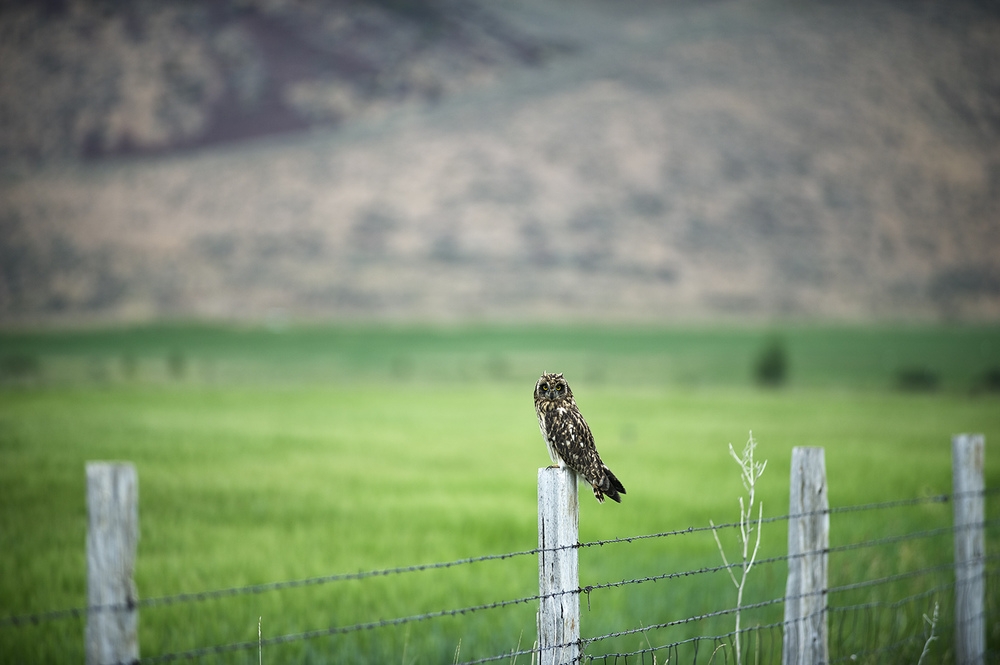 A Short-Eared Owl near Picabo, Idaho.