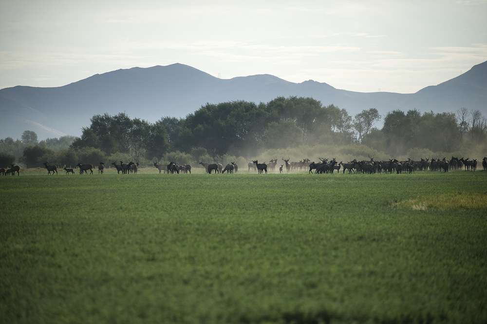 Elk. Silver Creek Preserve, Idaho.