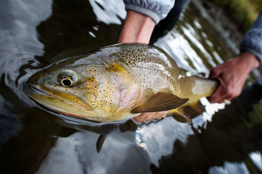 Cutthroat Trout. Idaho.