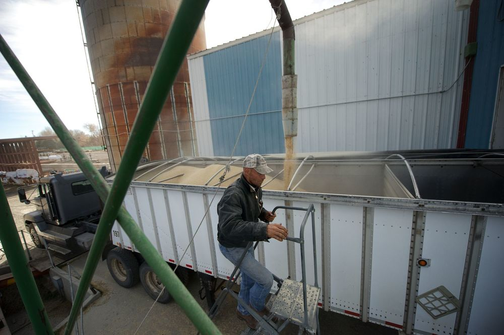 Justin Jones checks on a load of barley. Picabo, Idaho.