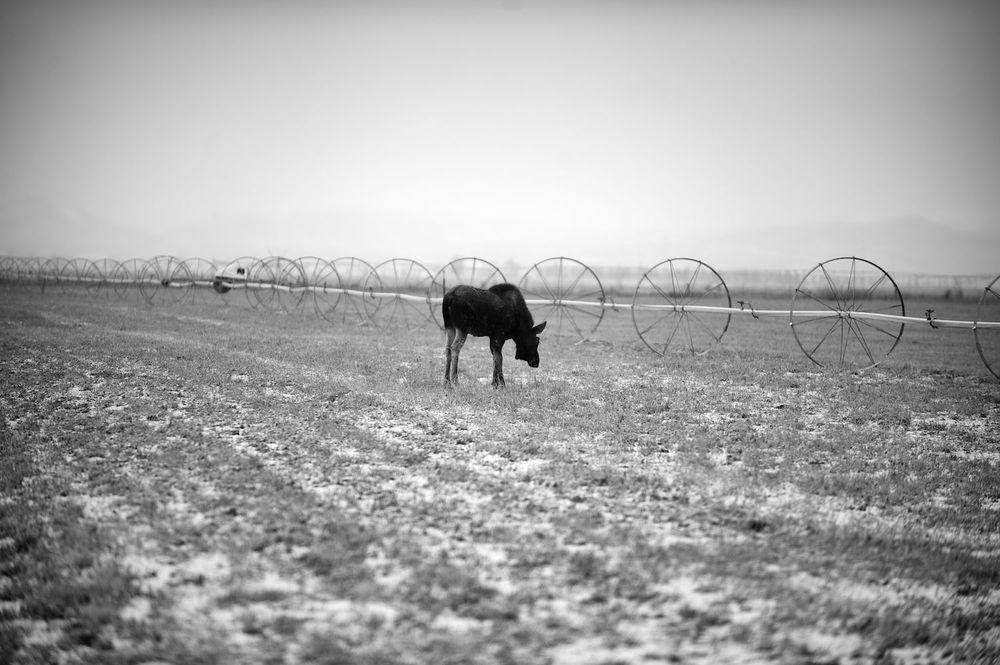 Yearling Moose. Gannet, Idaho.