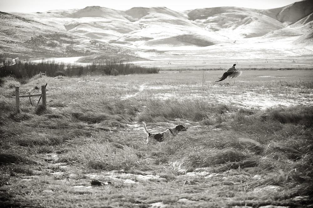 English Setter & Pheasant