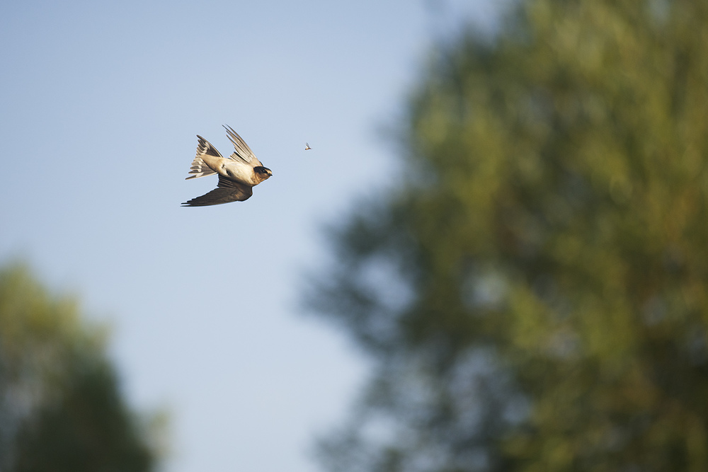 A swallow just above Silver Creek locks on to a flying ant.