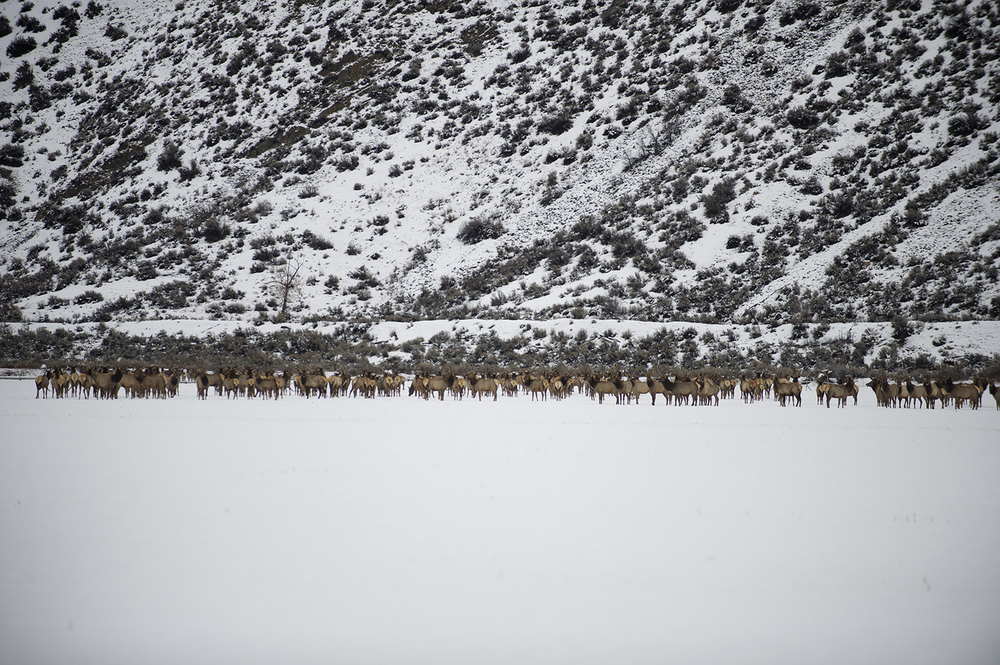 Winter Range. Elk near Gannett, Idaho.