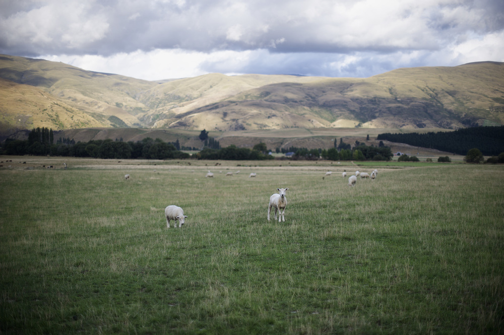 NZ Sheep.jpg