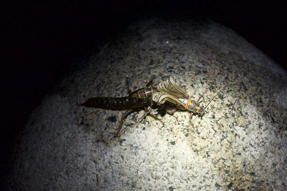 An emerging salmonfly. On this particular night, I watched hundreds of salmonfly nymphs crawl out of the river and onto rocks and shrubs to morph into adults. The image above was taken after 11 PM.