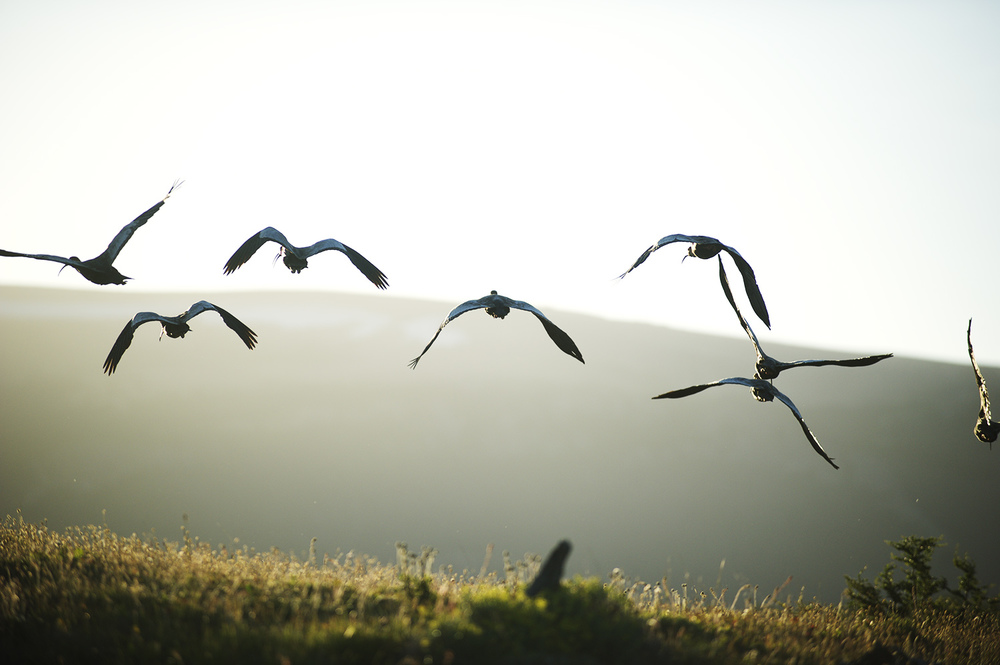 The ubiquitous ibises. Their call could be and can be heard from all over Chilean Patagonia.