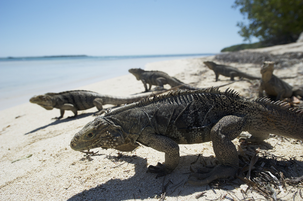 iguana 3.jpg