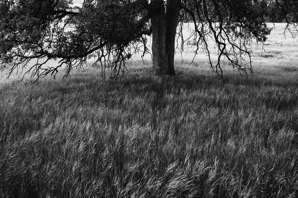 Oak Tree. Hat Creek.