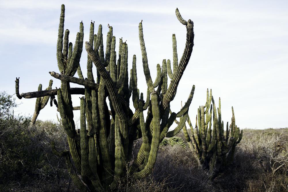 East Cape cactus.