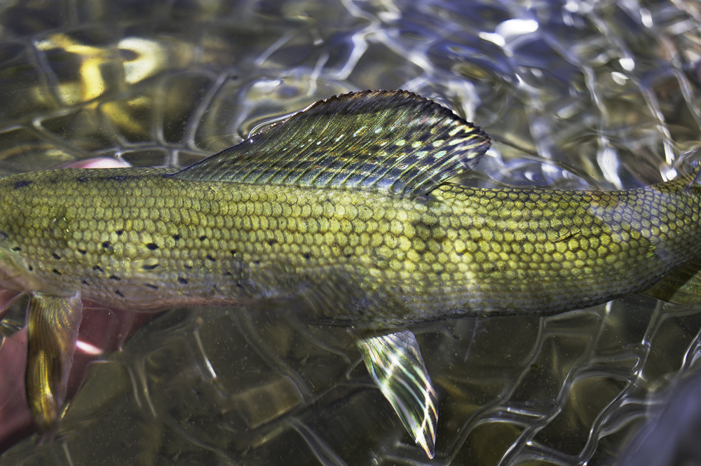 Grayling. Upper Big Lost River Watershed.