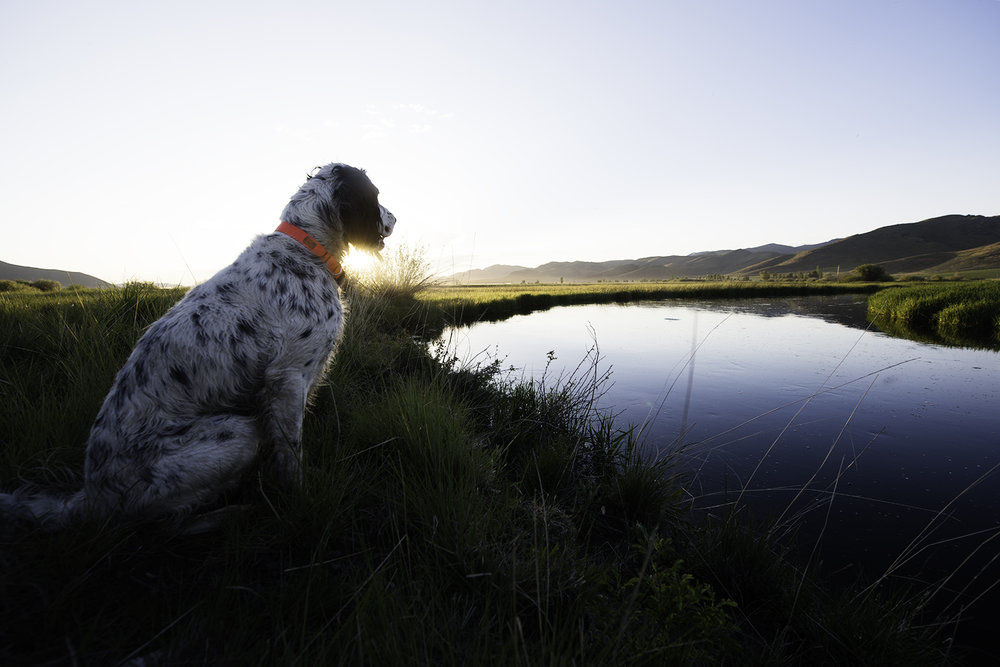 English Setter extraordinaire, Boone, takes on brown drake watch duty.