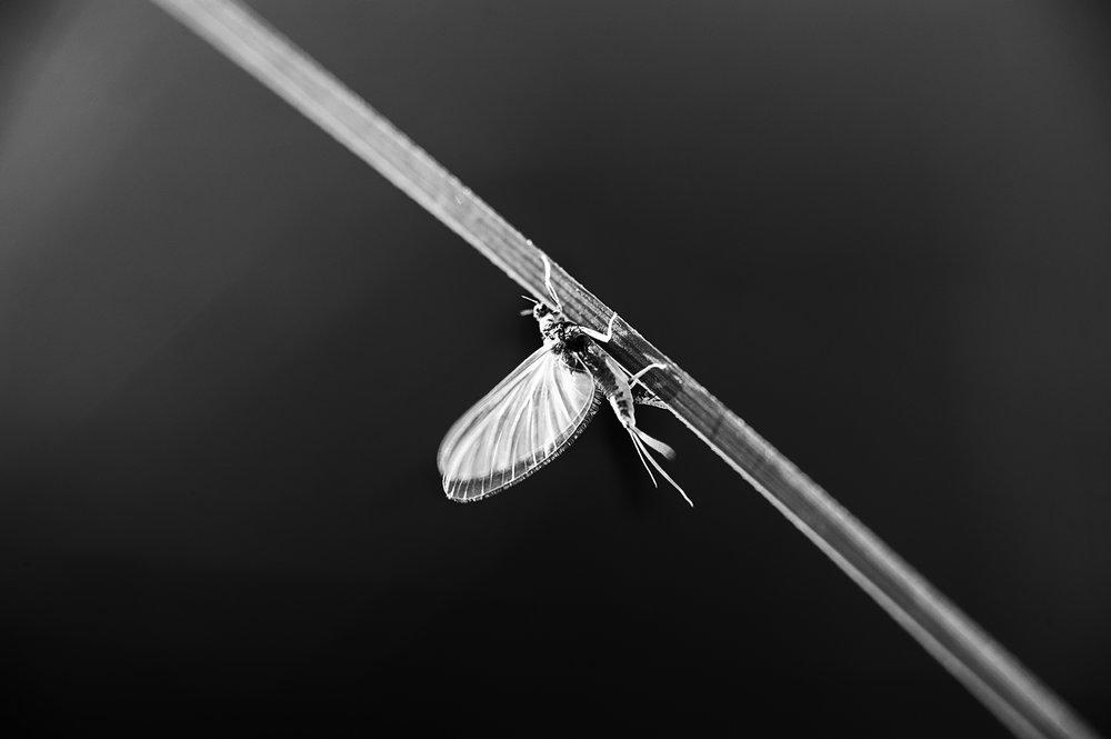 Female Trico